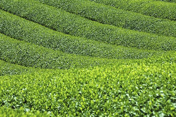 京都は宇治の茶畑